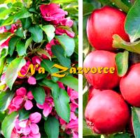 Sloupovitá jabloň Rosalie®