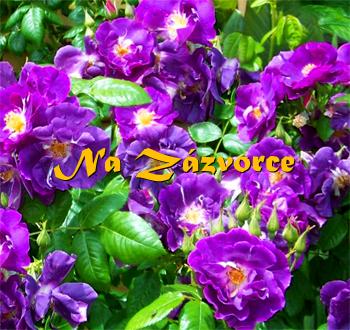 Růže POLYANTKA ´Rhapsody in blue®´