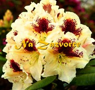 Rhododendron ´Orlík®´