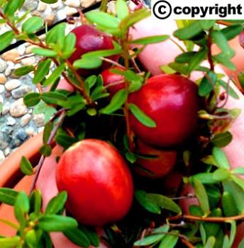 Americká brusinka velkoplodá (Cranberry ´Big Pearl´)