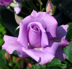 Růže velkokvětá FIALOVÁ