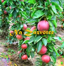Sloupovitá jabloň Vesna®