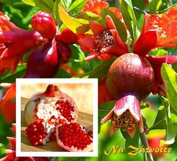 Granátovník Marhaník - Granátové jablko