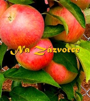 Sloupovitá jabloň Pidi