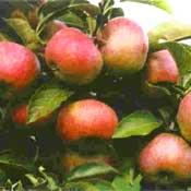 Jabloň Vanda®
