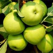 Jabloň Biogolden