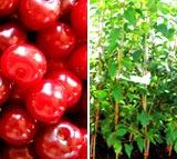 VIŠEŇ vhodná pro sloupovité pěstování