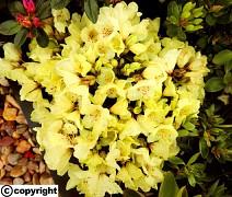 TRPASLIČÍ Rhododendron ´Wren´ VĚTŠÍ