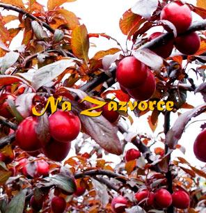 Myrobalán plodový ´Klaret´ ČERVENOLISTÝ