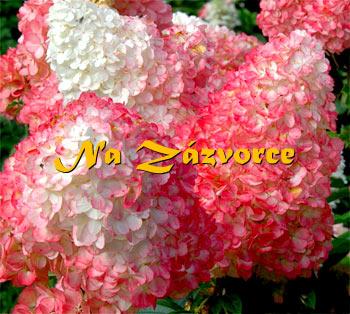 Hortenzie ´Sundae Fraise®´ ZAKRSLÁ (Hydrangea paniculata ´Sundae ...
