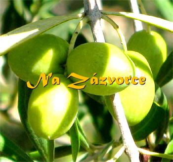 Olivovník ´Chalkidiki´ v kontejneru MRAZUVZDORNÝ