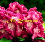 Rhododendron ´Kokořín®´
