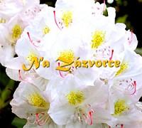 Rhododendron ´Catawbiense Album´