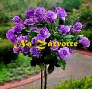 Růže velkokvětá ´Sissi´ STROMKOVÁ