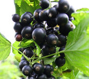 Rybíz černý Noiroma Cassissima® KEŘ v kontejneru