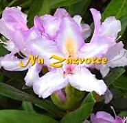 Rhododendron ´Bezděz´ KVETE 2x ROČNĚ