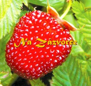 OSTRUŽINOJAHODA (Rubus illecebrosus)