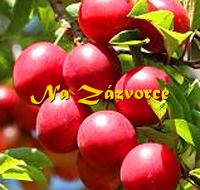 Myrobalán plodový ´Rumjana Zorka´