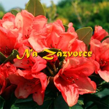 Rhododendron ´Amaretto´