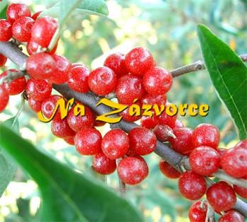 Podzimní OLIVA ´Sweet and Sour®´