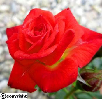 Růže pokryvná SVĚTLE ČERVENÁ