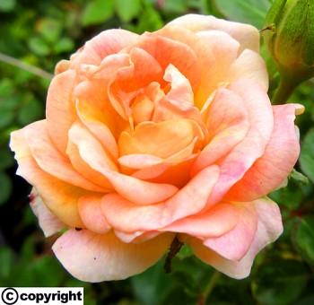 Růže pokryvná MERUŇKOVÁ