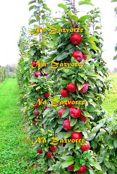 Sloupovitá jabloň Červené vřeteno®