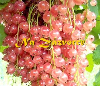 Rybíz růžový Lubawa stromkový v kontejneru