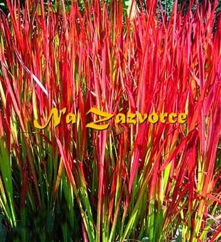 Okrasná tráva ´Red Baron´