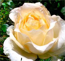 Růže velkokvětá KRÉMOVÁ