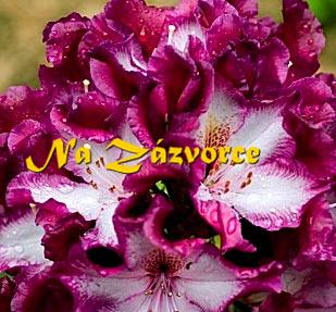 Rhododendron ´Midnight Mystique´