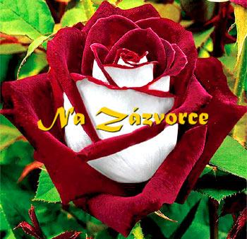 Růže velkokvětá ´Osiria´