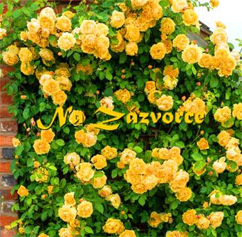 Růže pnoucí ŽLUTÁ