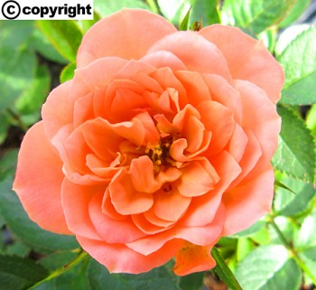 Růže pokryvná LOSOSOVÁ
