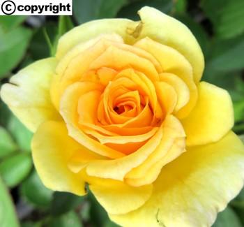 Růže pokryvná ŽLUTÁ
