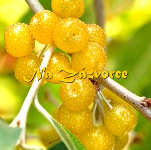 Podzimní OLIVA ´Fortunella®´