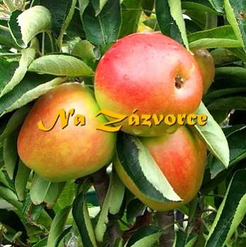 Sloupovitá jabloň BALLERINA Charlotte®