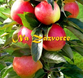 Sloupovitá jabloň Valjuta®