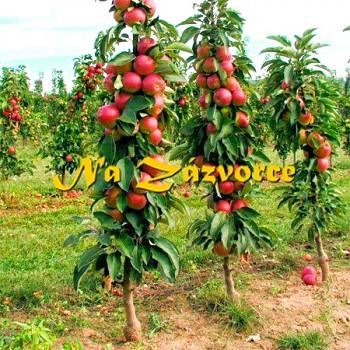 Sloupovitá jabloň Zane®