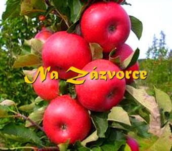 Sloupovitá jabloň Rumba®