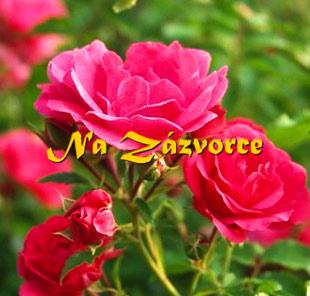 Růže pokryvná TMAVĚ RŮŽOVÁ