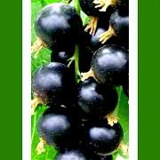 Rybíz černý Titania stromkový v kontejneru