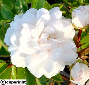 Růže pokryvná BÍLÁ