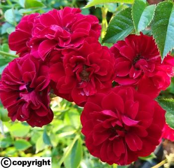 Růže pokryvná VÍNOVÁ