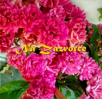 Růže PNOUCÍ Super Dorothy Heldoro´