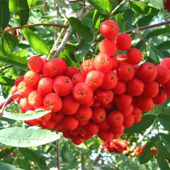 Jeřáb Moravský sladkoplodý stromkový