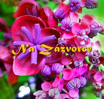 Akebie pětičetná ´Red´ ´ČOKOLÁDOVÉ VÍNO´ (Akebia quinata)