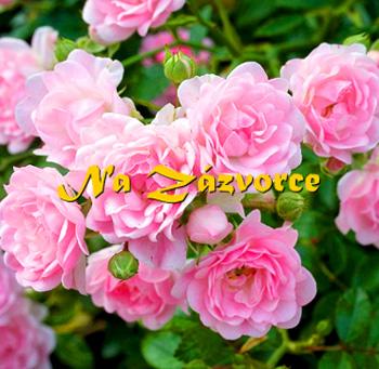 Růže pokryvná RŮŽOVÁ