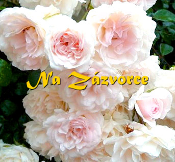 Růže pokryvná RŮŽOVOBÍLÁ