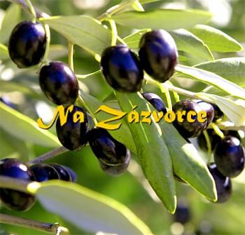 Olivovník ´Piqual´ v kontejneru
